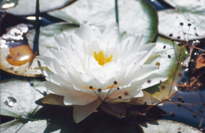 Loto blanco
